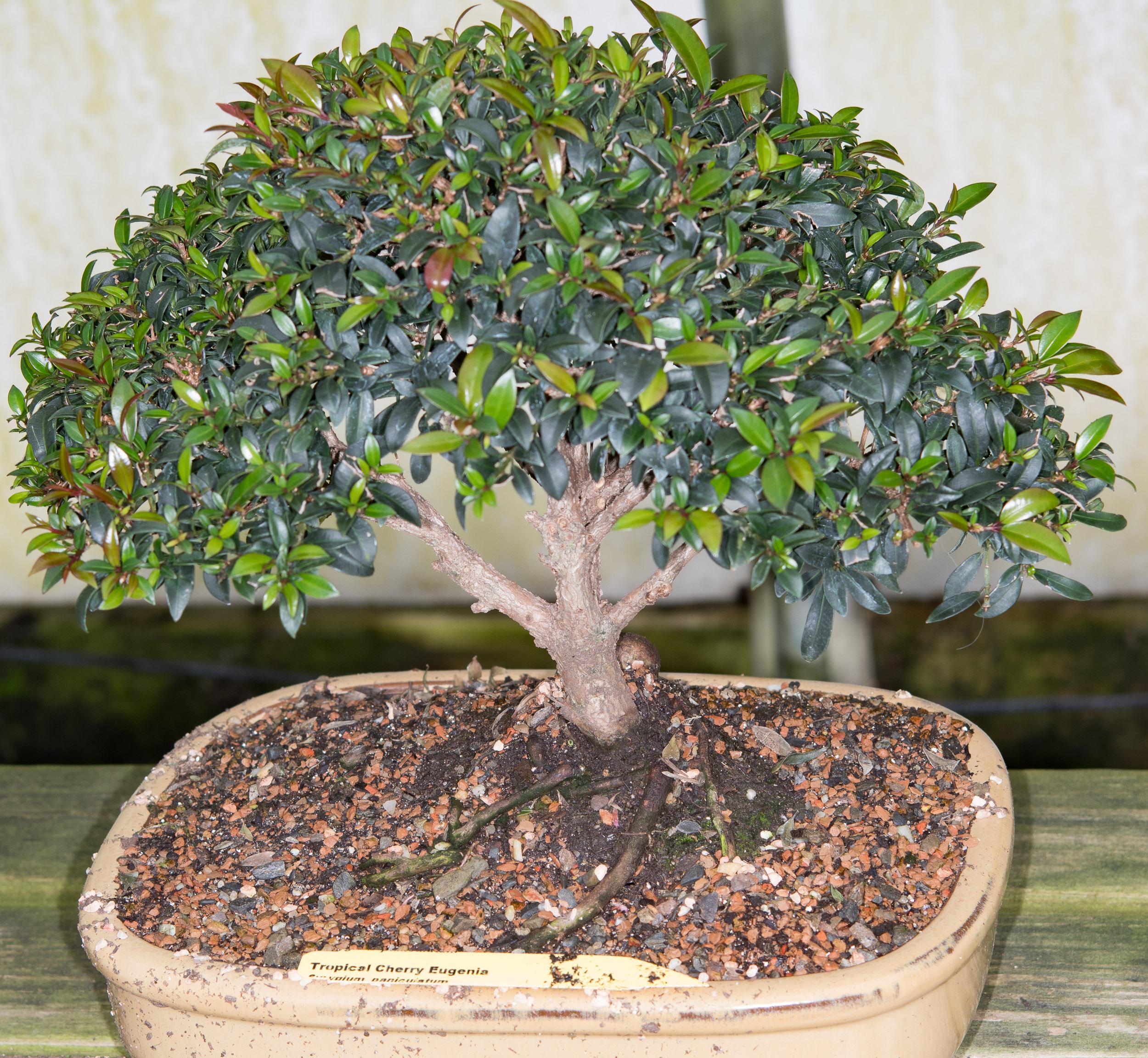 Syzygium Paniculatum Tropical Cherry Eugenia