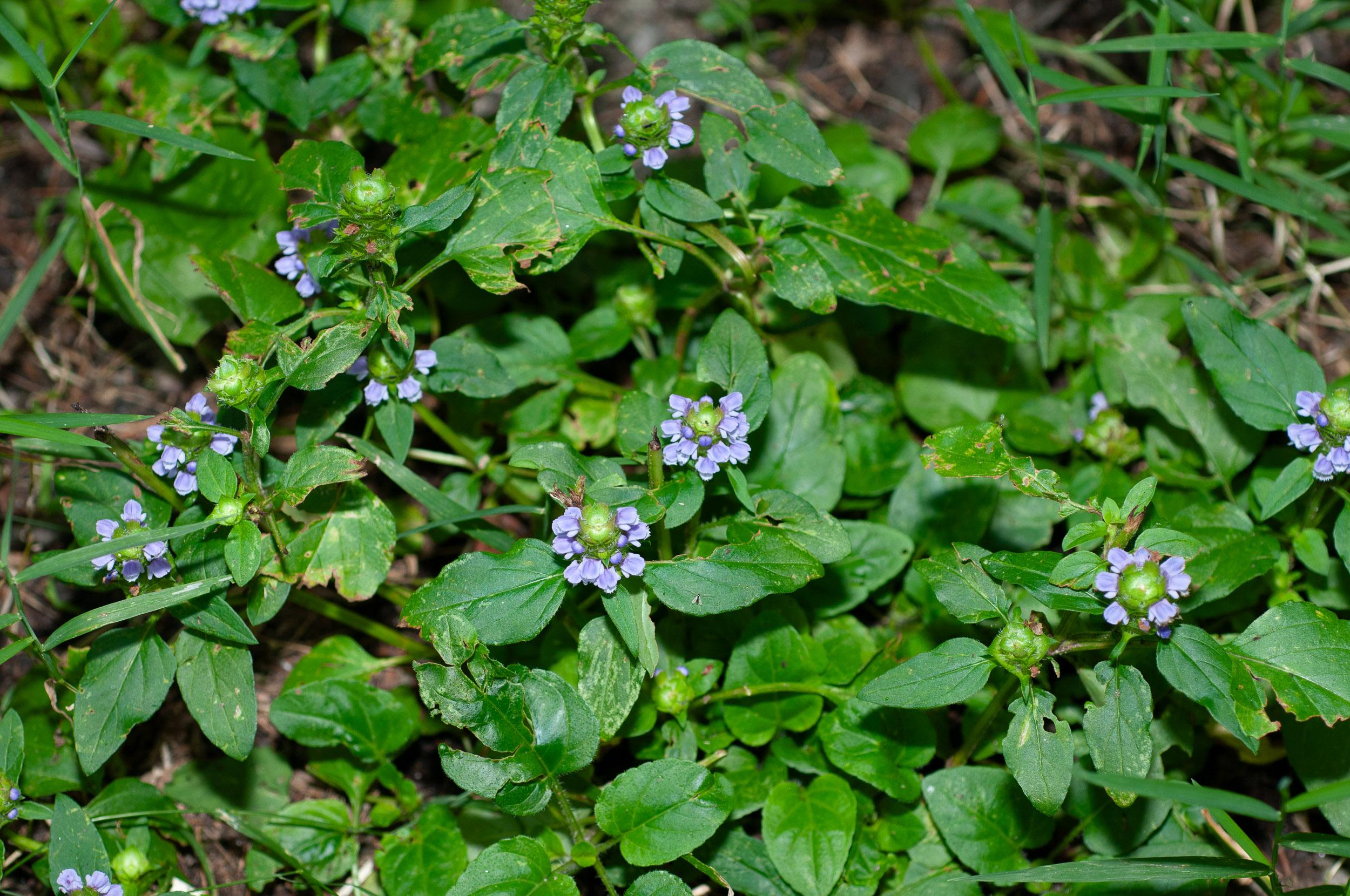 Prunella vulgaris (Common Selfheal)