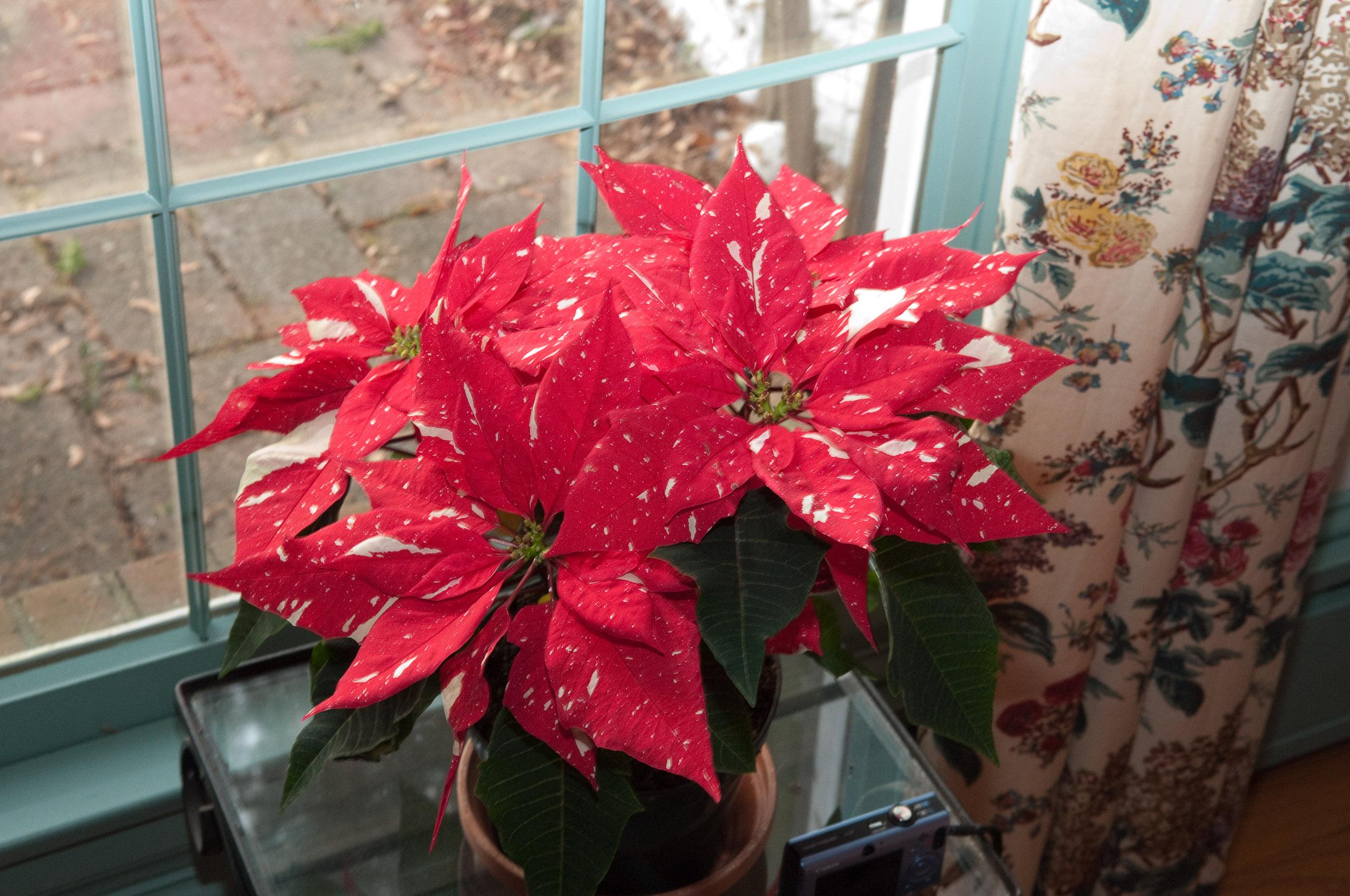 Цветок пуансетия - пересадка, уход и размножение 33