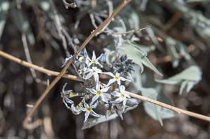 Amsonia tomentosa (woolly bluestar, gray amsonia)