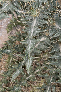 Cirsium neomexicanum (Desert Thistle, New Mexico Thistle, Powderpuff Thistle, Lavender Thistle, Foss Thistle)