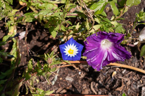 Convolvulus tricolor (Bush Morning Glory)