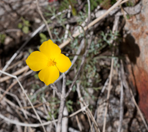 Eschscholzia parishii (Desert Poppy, Parish's Poppy)