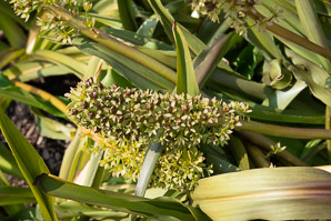 Eucomis 'Sparkling (Pineapple Lily)