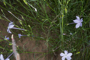 Ipomopsis longiflora (Long-flowered Trumpet Gilia, Flaxflowered Gilia, Long-flowered Gillia, Long-flowered Skyrocket, White-flower Skyrocket)