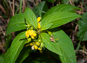 Lysimachia ciliata (Fringed Yellow Loosestrife, Fringed Loosestrife)