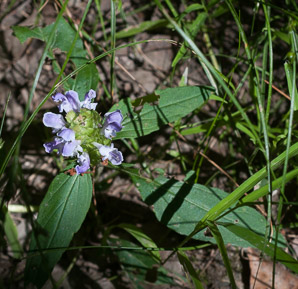 Prunella vulgaris (common selfheal, heal-all, heart-of-the-earth, healall)