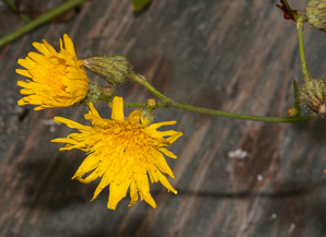 Sonchus oleraceus (Sow Thistle, Common Sow Thistle, Common Sowthistle)