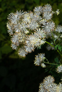 Thalictrum revolutum (Waxy-leaf Meadow-rue, Purple Meadowrue, Skunk Meadowrue, Waxy Meadowrue)