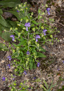 Trichostema dichotomum (Eastern Blue Curls, Forked Bluecurls, Blue Curls, Bastard Pennyroyal)