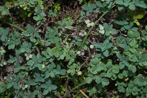 Vaccinium uliginosum (Bog Huckleberry, Bog Bilberry, Northern Bilberry, Bog Blueberry, Alpine Blueberry)