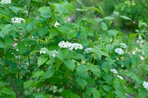 Viburnum rafinesqueanum (Downy Arrowwood, Northern Arrowwood)