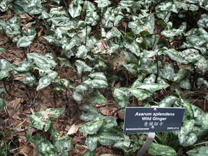 Asarum splendens (Wild Ginger)