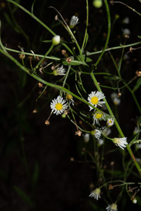 Boltonia asteroides (False Aster, White Doll's Daisy)