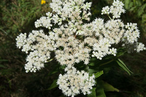 Eupatorium perfoliatum (boneset, common boneset, thoroughwort)