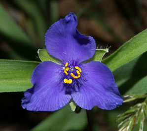 Tradescantia virginiana (Virginia spiderwort)