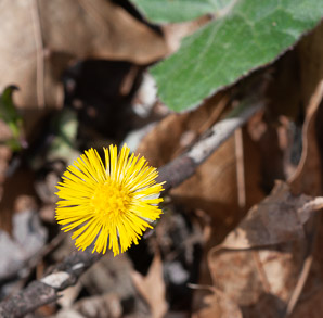 Tussilago farfara (Coltsfoot, Ass's Foot, Bull's Foot, Butterbur, Coughwort, Farfara, Foal's Foot, Foalswort, Horse Foot, Winter Heliotrope)