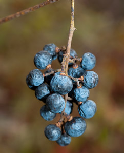 Vitis aestivalis (Summer Grape, Grape)