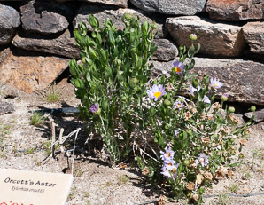 Xylorhiza orcuttii (Orcutt's Aster, Orcutt's Woody Aster, Borego Aster, Mojave Aster)