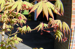Acer pseudosieboldianum (Korean maple)