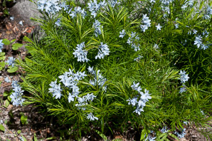 Amsonia ciliata (Threadleaf Bluestar)