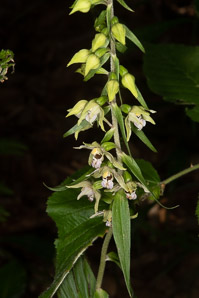 Aplectrum hyemale (puttyroot orchid)