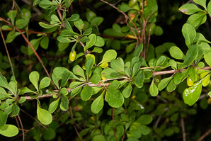 Berberis thunbergii (Japanese barberry, Thunberg's barberry, red barberry)