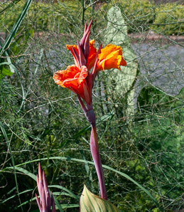 Canna 'Striata' (Canna, Indian Shot Plant)