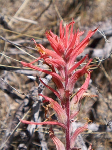 Castilleja linariifolia (Wyoming Indian Paintbrush, Narrow-leaved Indian Paintbrush, Wyoming Paintbrush, Linaria-leaved Indian Paintbrush)