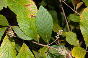 Clethra alnifolia (Sweet Pepperbush)