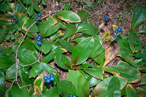 Clintonia borealis (Yellow Clintonia, Bluebead Lily, Blue-bead Lily, Clintonia, Clinton's Lily, Corn Lily, Cow Tongue, Yellow Beadlily, Yellow Bluebeadlily, Snakeberry, Dogberry, Straw Lily)