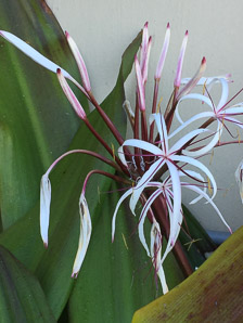Crinum × (Giant Spider Lily)