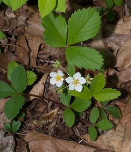 Fragaria virginiana (Common Strawberry, Virginia Strawberry, Wild Strawberry)