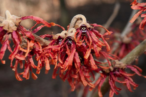 Hamamelis × (Witch Hazel 'Diane')
