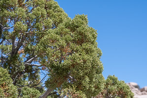 Juniperus californica (California Juniper)