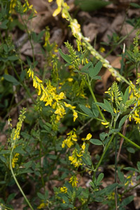 Melilotus officinalis (White Sweet Clover, Yellow Sweet Clover)