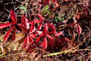 Parthenocissus quinquefolia (Virginia Creeper, Virginia-creeper)