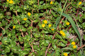 Portulaca oleracea (Common Purslane, Pussley, Pursley, Pressley, Wild Portulaca, Little Hogweed)