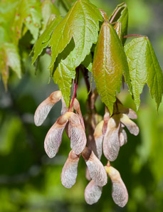 Acer rubrum (Red Maple, Swamp Maple, Soft Maple)
