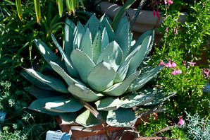Agave parryi (Century Plant, Parry's Agave, Mescal Agave)