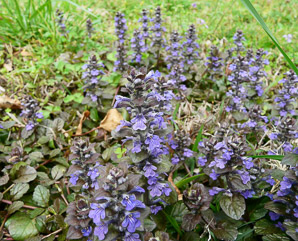 Ajuga reptans (Bugle, Blue Bugle, Bugleherb, Bugleweed, Carpetweed, Carpet Bugleweed, Common Bugle)