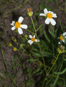 Bidens alba (Spanish Needles)