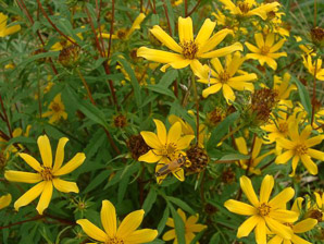 Bidens aristosa (Long-bracted Tickseed Sunflower)