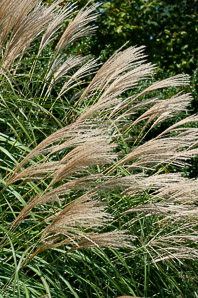 Calamagrostis × (Feather Reed Grass)