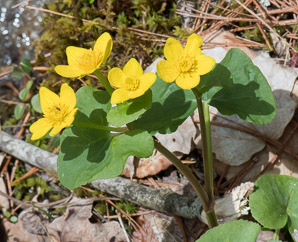 Caltha palustris (Marsh Marigold, Kingcup)