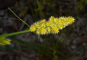 Carex vulpinoidea (Common Fox Sedge)