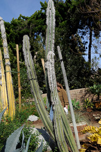 Cephalocereus senilis (Bunny Cactus, Old Man Cactus, Old Man of Mexico, Veijo, White Persian Cat Cactus)