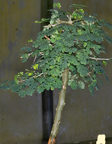 Chloroleucon tortum (Brazilian Rain Tree, Jurema)
