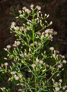 Conyza canadensis (Horseweed, Canada Horseweed, Canadian Horseweed)