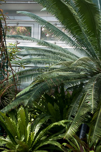 Cycas spp. (Sago Palm)